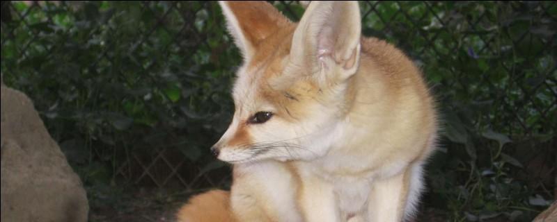 Est-ce que le renard est un félin ?