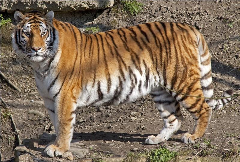 Et du tigre ?
