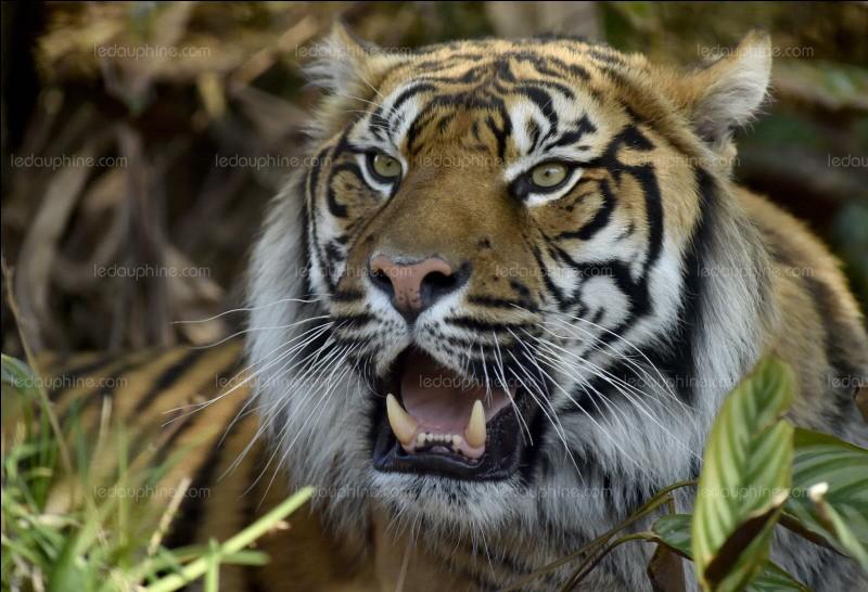 Dans quel continent peut-on trouver des tigres sauvages ?