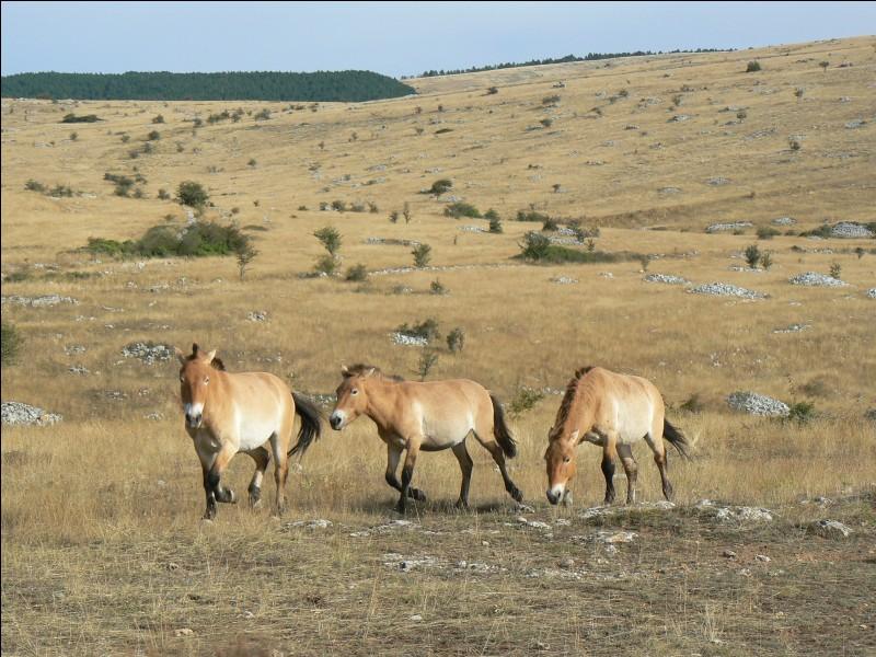 Existe-il encore des chevaux sauvages ou semi-sauvages ?