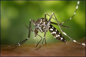 Le dernier patient s'est fait piquer par un moustique-tigre à l'étranger il y a deux semaines. Il a des maux de tête et des frissons. Sa température corporelle a franchi les 40°C. Ce patient a attrapé...