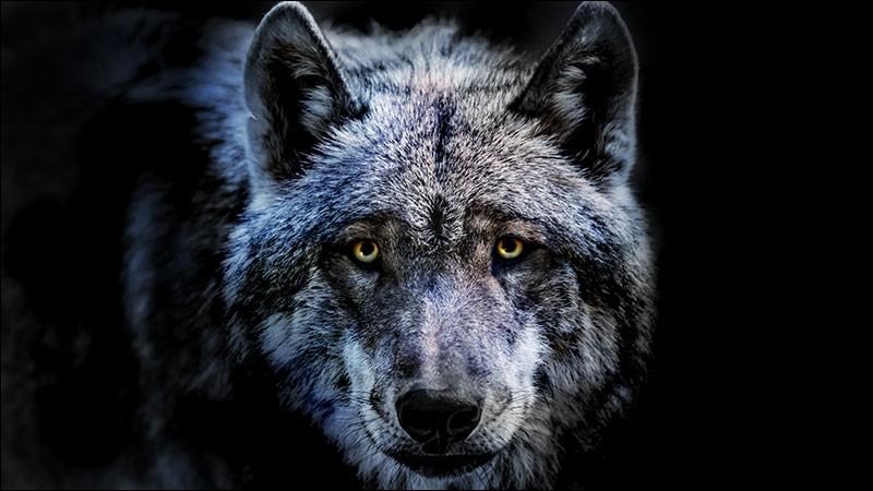 Les loups ououh ououh ououh - Les loups ont envahi Paris !