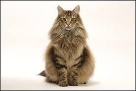 Quelle est la race de ce chat ?
