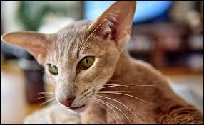 Comment appelle-t-on la race de ce chat ?