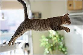 Jusqu'à quelle hauteur peut sauter un chat ?