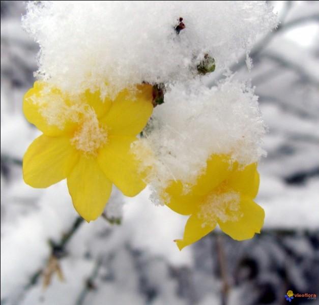 D'un jaune éclatant et lumineux, voici des fleurs qui résistent au froid !
