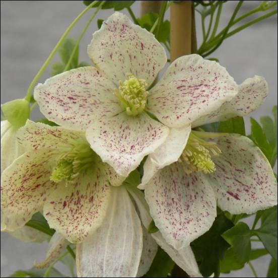 Quelle est cette fleur en forme de cloche blanc-crème légèrement ponctuée de rose, dont la floraison se fait en hiver et dont le feuillage vert-vif est décoratif ?