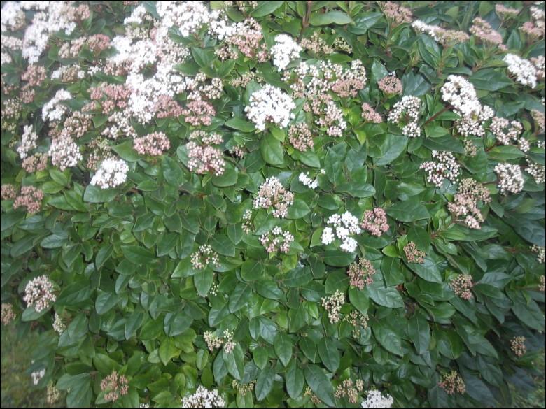 Cet arbuste fleurira de novembre à avril, et agrémentera votre jardin tout l'hiver !