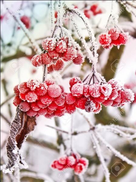 Que sont ces baies rouges qui illumineront l'hiver ?
