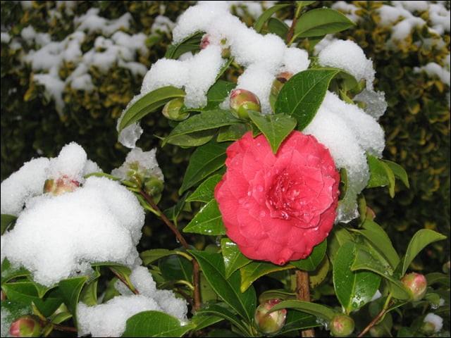 Très jolies fleurs colorées allant du rouge, rose, blanc ou jaune, dont vous pourrez profiter de décembre à mars :