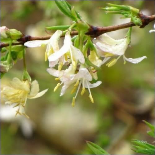 Arbuste aux jolies fleurs et au feuillage dense, il sera parfait pour vos haies :