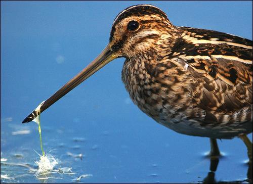 Cet oiseau a donné son nom à une héroïne un peu niaise. De quelle espèce s'agit-il ?