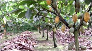 Il atteint son plein rendement 6 à 7 ans après plantation et vit jusqu'à 40 ans :