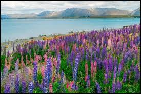 On dénombre plus de 600 espèces de cette plante dont certaines sont cultivées depuis plus de 4000 ans !