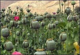 Dans le langage des fleurs, cette plante représente la frivolité, le plaisir éphémère...