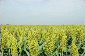 Quelle est la cinquième céréale mondiale par le volume de production ?