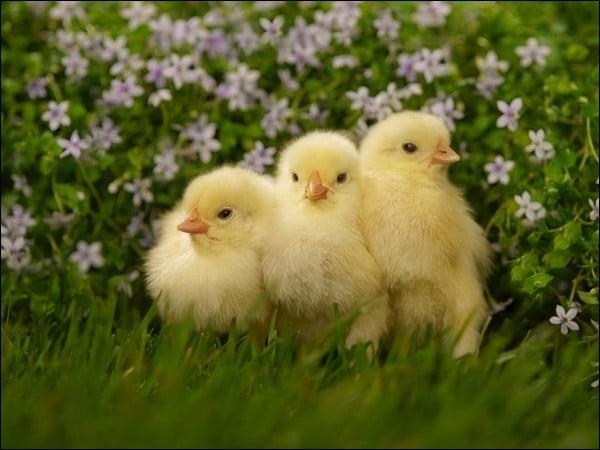 Il y a trois poussins dans un nid, j'en veux deux. Qu'est-ce que je fais ?