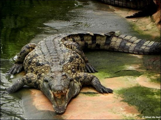 """Un crocodile croise un chien et lui dit : """"sac à puces !"""" Que lui répond le chien ?"""