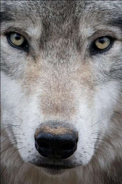 Un loup, pour toi, c'est :