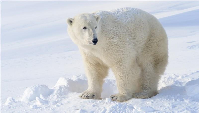 Et pourquoi donc les ours polaires sont-ils en danger ?