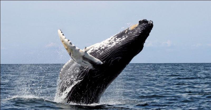Est-ce vrai que les baleines sont en voie de disparition, et que malgré cela des pays continuent à les chasser ?