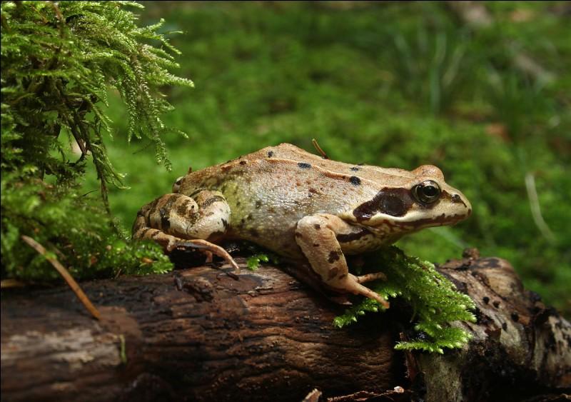 Quelle est la réaction d'une grenouille au nerf moteur sectionné lorsqu'une personne s'approche d'elle ?