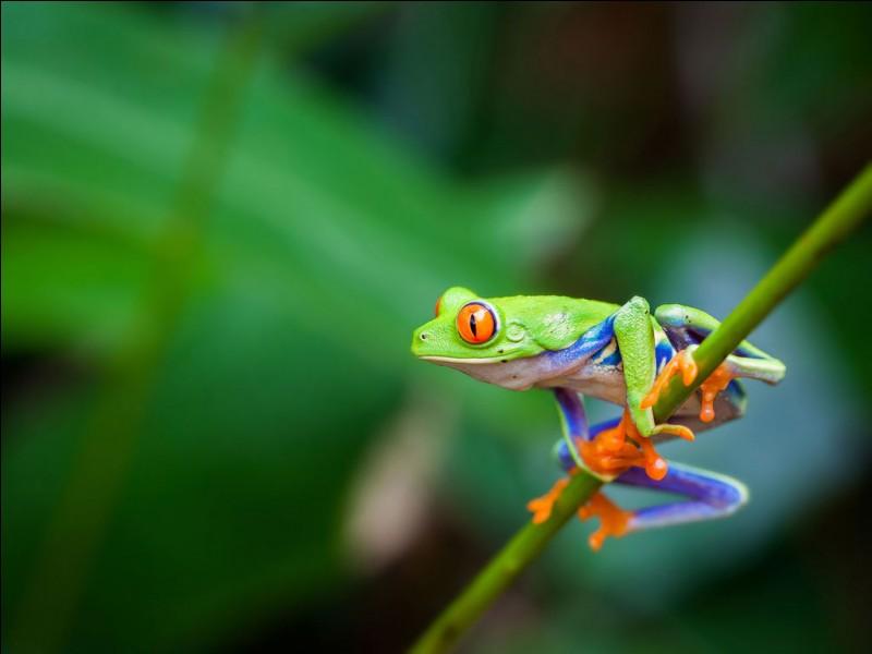 Quelle est la réaction d'une grenouille au nerf optique sectionné lorsqu'une personne s'approche d'elle ?