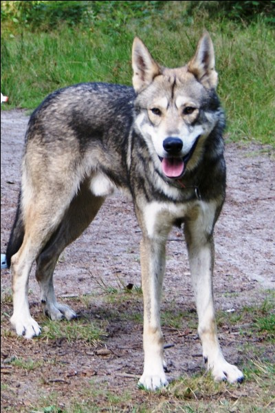 """Un chien-loup tente de survivre à de multiples péripéties dans le roman """"..."""""""