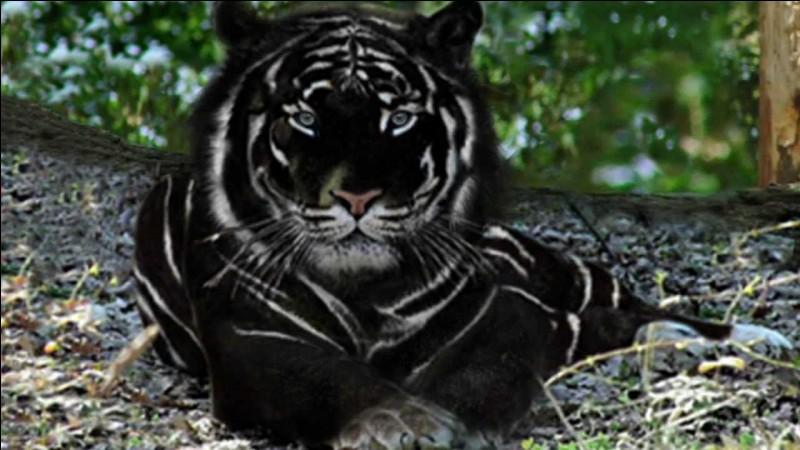 Quel est le nom de ce mammifère carnivore mélanique de la famille des félidés ?