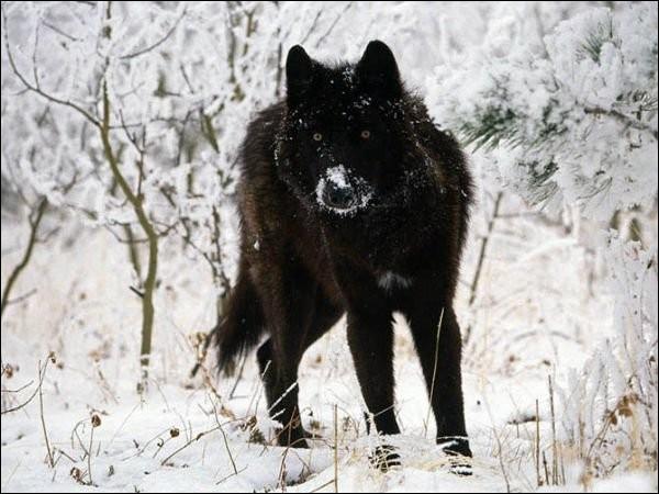 Quel est le nom de ce mammifère carnivore mélanique ?