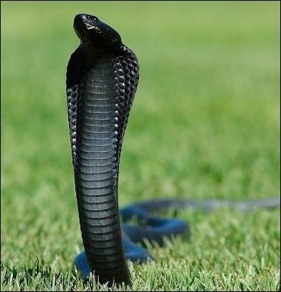 Quel est le nom de ce serpent venimeux mélanique ?