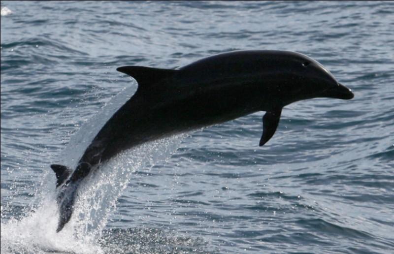 Quel est le nom de ce mammifère marin mélanique ?