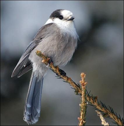 """Qu'est-ce que le """"gésier' d'un oiseau ?"""