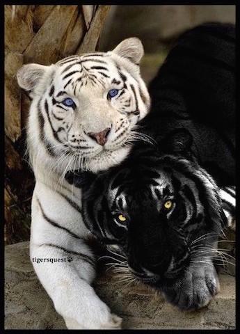 Quel tigre es-tu ?