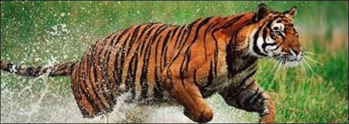 Il peut être tigre, c'est le...