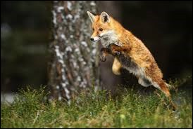 Le renard roux peut atteindre … km/h.