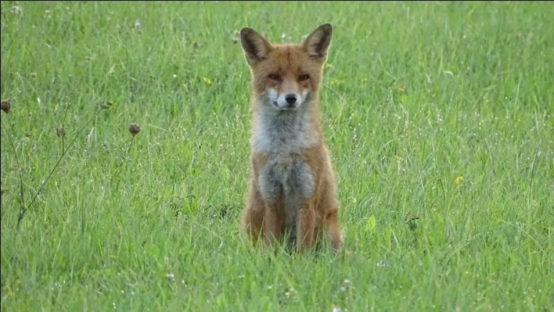 Quelle est la taille moyenne d'un renard roux ?