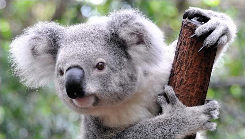 Le koala n'a pas d'endroit précis où dormir et s'endort sur place.