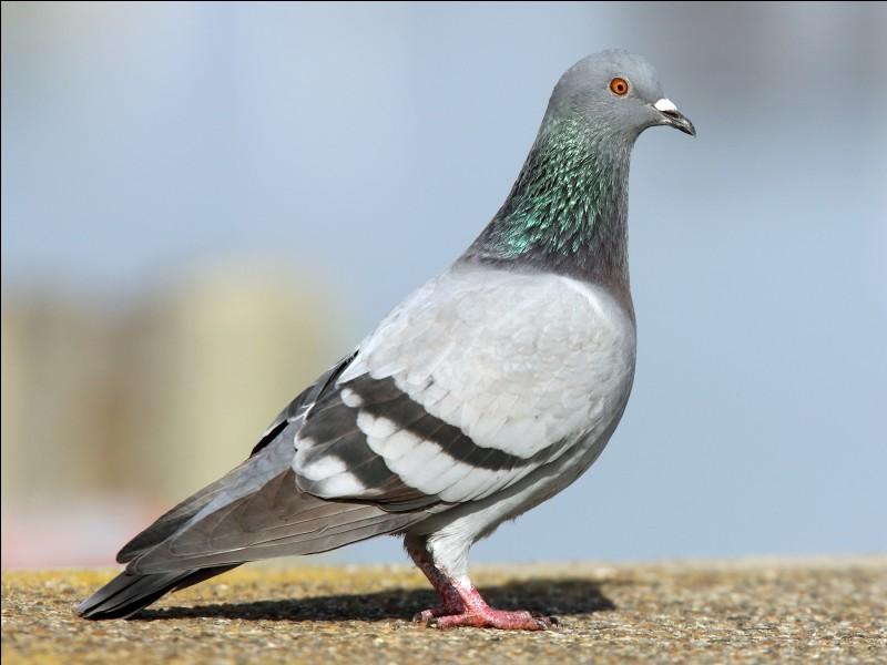 La vision du pigeon devient bleue lorsqu'il regarde au nord.