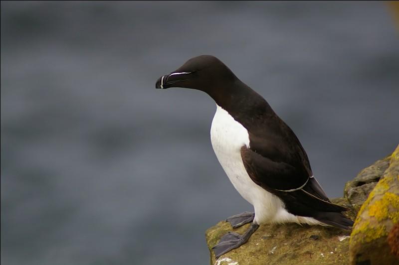 Pour séduire la femelle, le mâle pingouin lui offre un caillou. Si elle l'accepte, alors ils seront en couple pour le restant de leur vie.