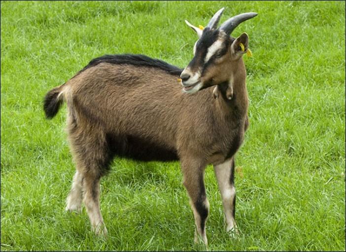 La chèvre communique avec sa queue pour montrer ses émotions.