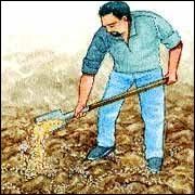 Pour favoriser la croissance du bulbe, la hampe florale des variétés d'ail à bâton sera coupée, au plus tard, lorsqu'elle aura atteint...