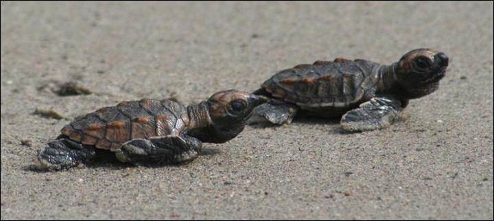 Cette tortue peut nager jusqu'à 30 km/h.