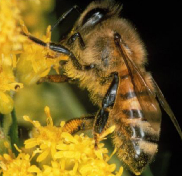 L'abeille ne pique qu'une fois dans sa vie ?