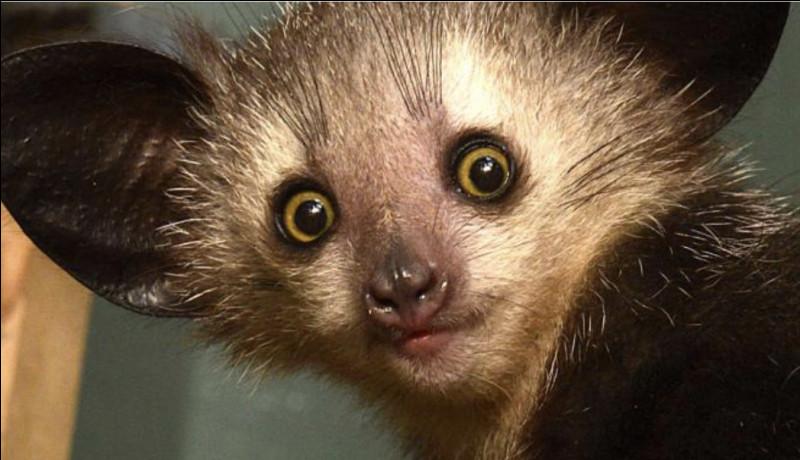 Ce petit mammifère est un animal nocturne.