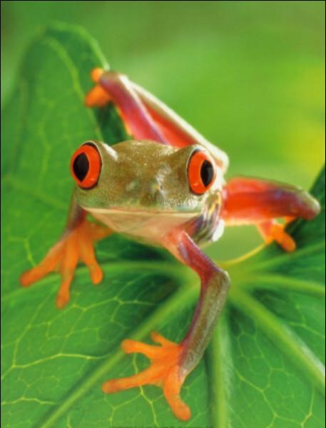 Quel est le son que cette grenouille répète pour attirer les femelles ?