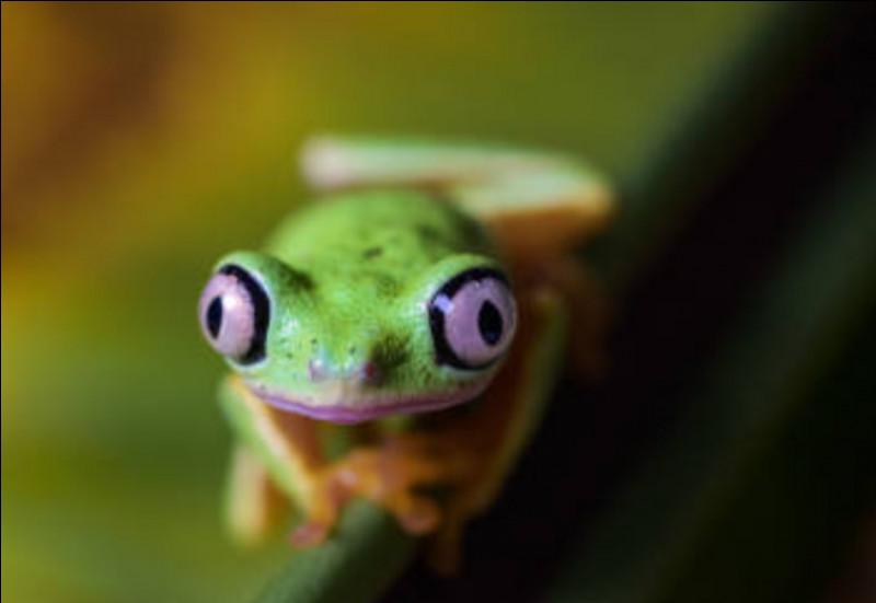Cette grenouille ne change pas de couleur.