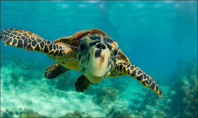Combien de kilos peut peser cette tortue ?