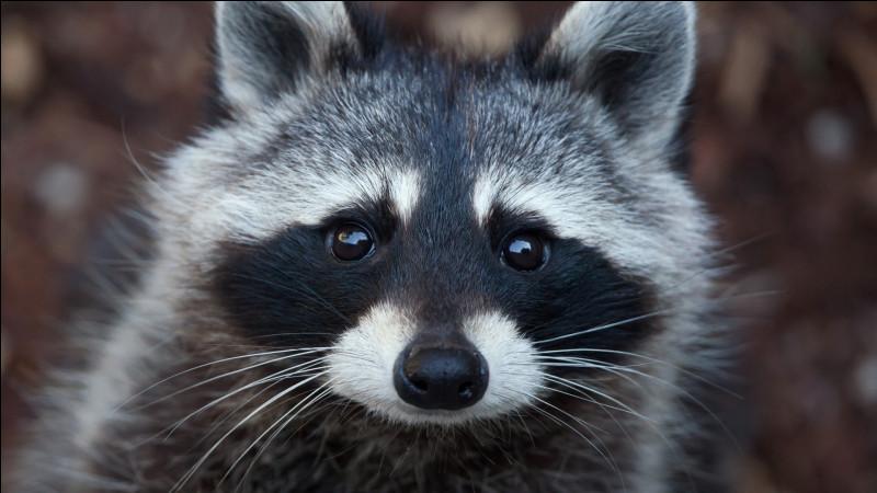 On le surnomme le bandit masqué, retrouvez-le parmi les photos ci-dessous !