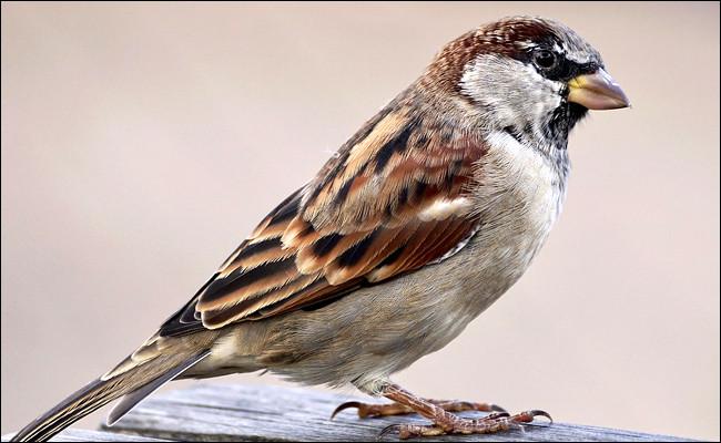Quand j'étais enfant, ce petit oiseau était présent partout, domestique ou friquet, il colonisait les champs, les villes, les parcs et jardins, à tel point que l'on n'y faisait plus attention, aujourd'hui il disparaît !